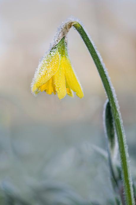 Narcis bij min 5 graden vorst