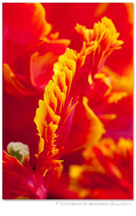 Tulpen uit Amsterdam 4