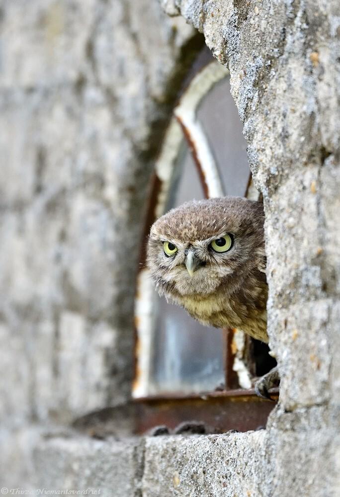 The Guardian - Als een echte waakhond bewaakt dit stoere steenuiltje zijn domein. Niemand die binnenkomt, die het ook maar waagt in de buurt te komen . . . - foto door thirzaniemantsverdriet op 13-11-2020 - deze foto bevat: uil, natuur, vogel, roofvogel, wildlife