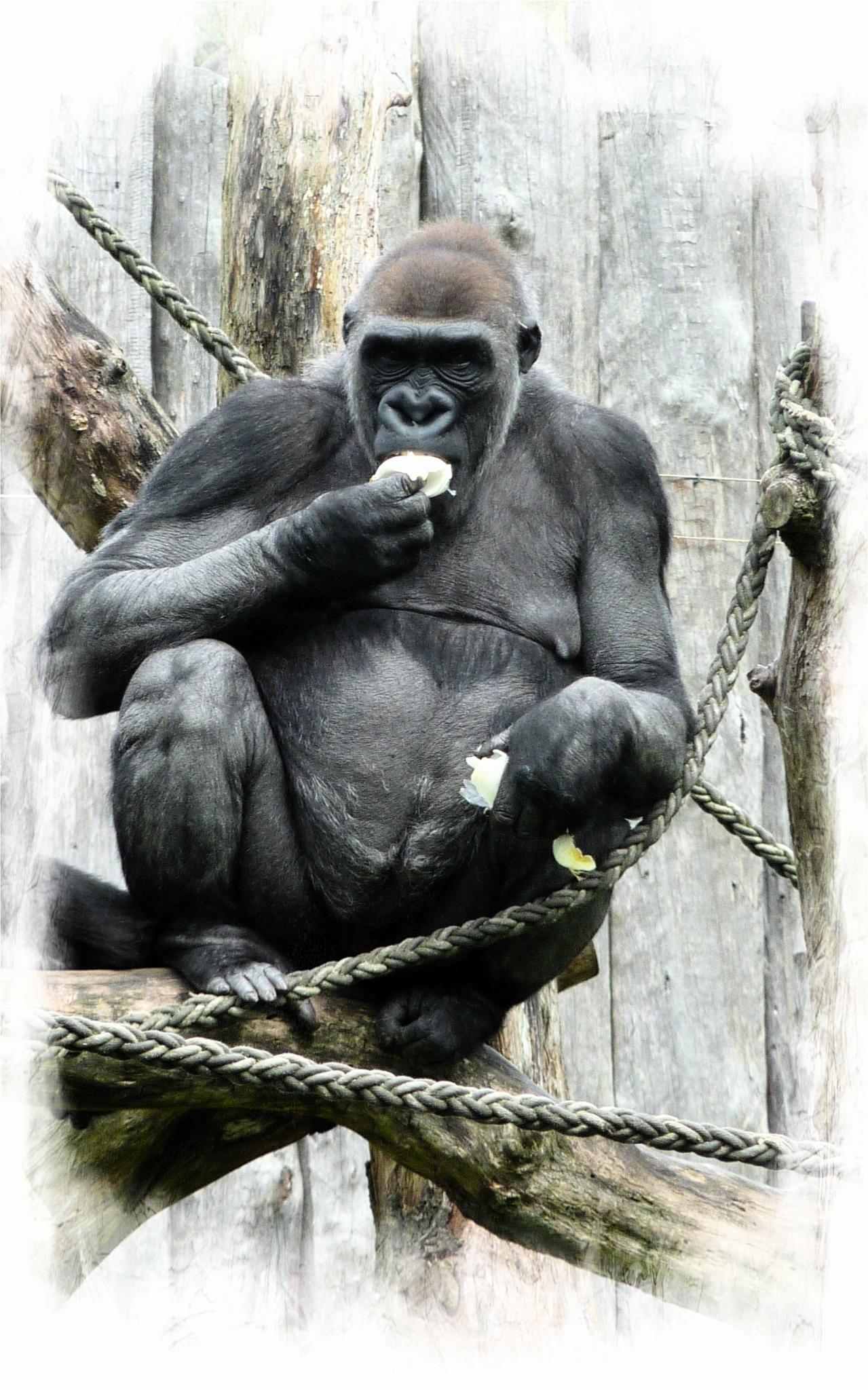smakelijk !  - - - foto door onne1954 op 18-04-2021 - deze foto bevat: dieren, aap, gorilla, dierentuin, appel, eten, voedsel, primaat, tempel, organisme, gebaar, terrestrische dieren, kunst, rimpel, snuit, gemeenschappelijke chimpansee, illustratie