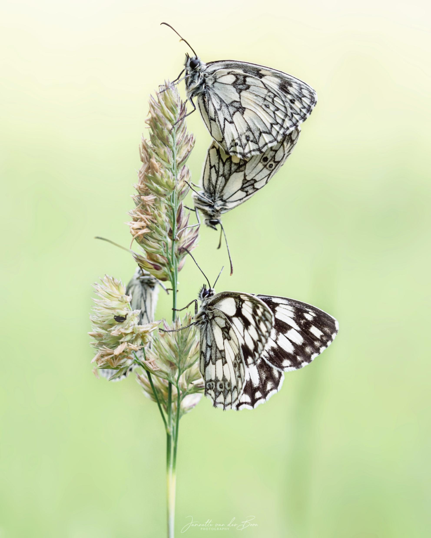 Butterfly Party - Dit viertal had gezellig samen overnacht op dit grassprietje.  nog best lastig om ze een beetje mooi vast te leggen :) - foto door jannette_s1 op 03-07-2020 - deze foto bevat: gras, groen, macro, zon, natuur, vlinder, geel, licht, zomer, insect, dambordje, bokeh - Deze foto mag gebruikt worden in een Zoom.nl publicatie