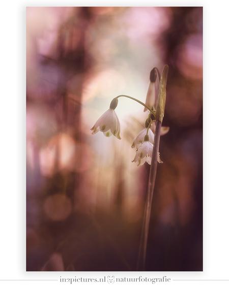Lenteklokjes  - Als na de sneeuwklokjes de lenteklokjes verschijnen dan weet je dat het echt lente aan het worden is, ook al voelde het in de vroege ochtend nog als  - foto door in2picturesnature op 22-04-2021 - locatie: 3233 Oostvoorne, Nederland - deze foto bevat: lente, lenteklokje, macro, double exposure, bokeh, licht, sigma, canon r5, fabriek, bloem, afdeling, takje, bloemblaadje, natuurlijk landschap, vogel, gras, gelukkig, pedicel