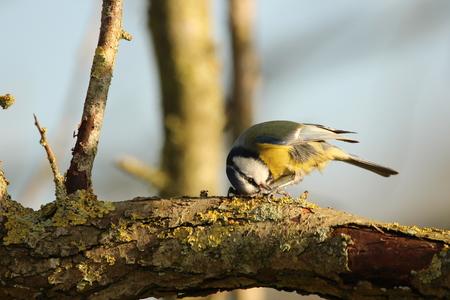 Pimpelmees - - - foto door KarinVeenema op 27-11-2020 - deze foto bevat: vogel, pimpelmees, wildlife