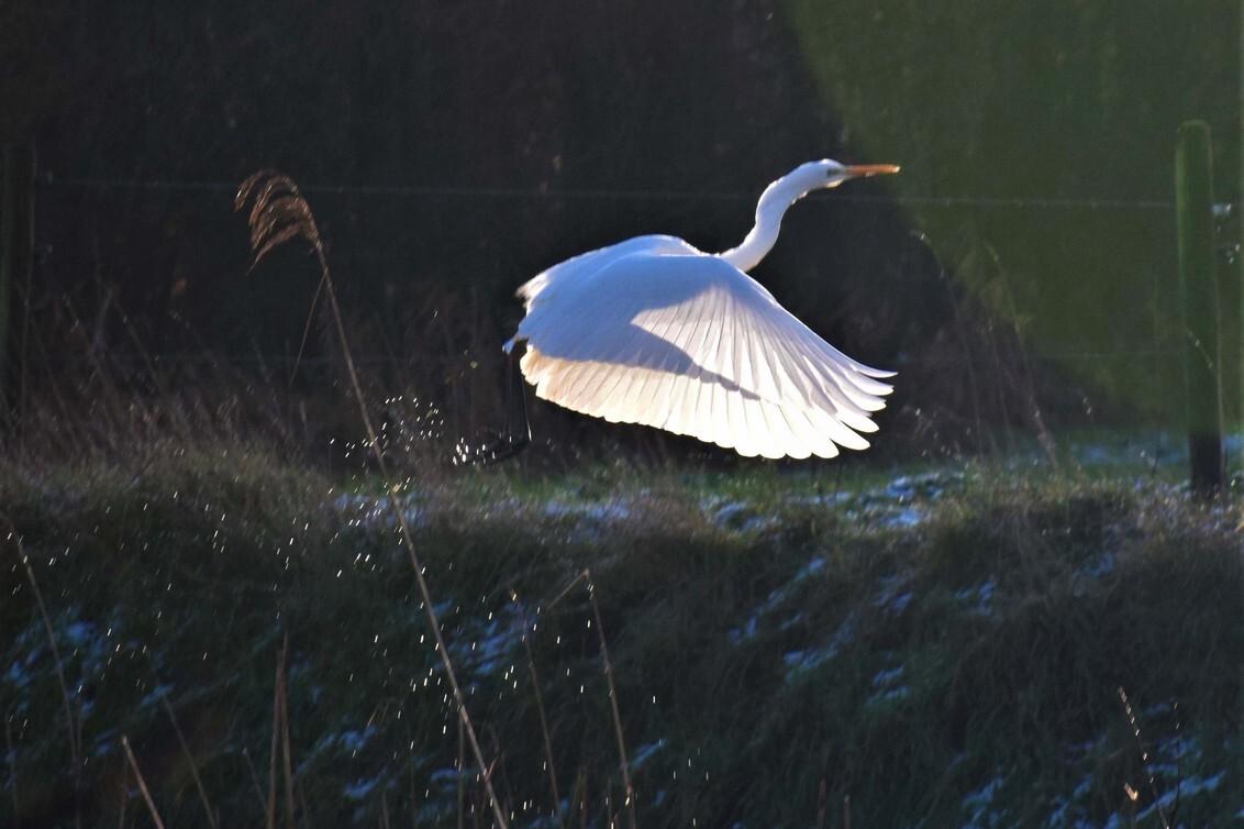 vogelVLUCHT3 - weet niet of het dezelfde reiger is maar ik kom er steeds weer 1 tegen tijdens mijn wandeling ..... helaas t ijsvogeltje 2 x weggevlogen maar deze ha - foto door jeje63 op 24-01-2021 - deze foto bevat: zilverreiger