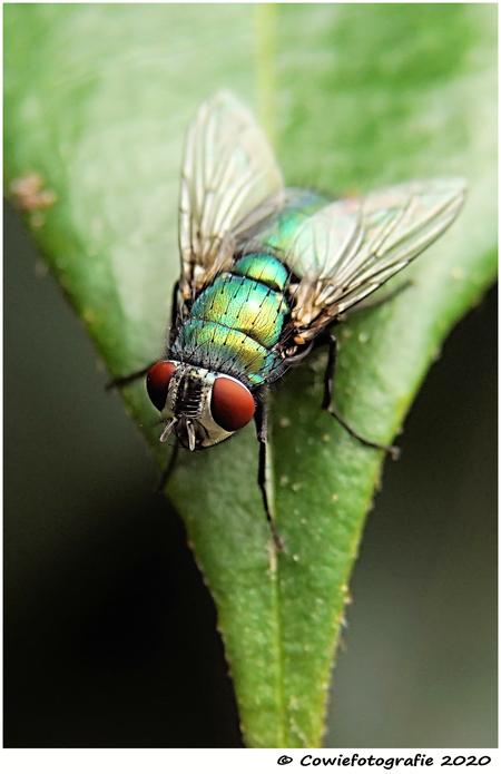Vlieg - Alvast bedankt voor jullie reacties.  Gr, Johannes - foto door cowiefotografie op 21-12-2020 - deze foto bevat: groen, macro, natuur, vlieg, zwart, insect, dof