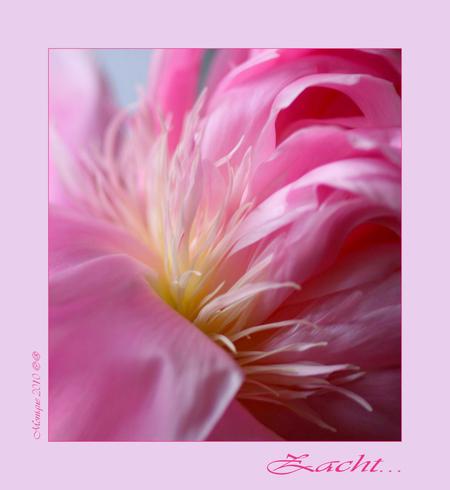 Zacht... - Na maanden weer eens de macro-lens gebruikt..... Het begin is er weer... - foto door Monique12 op 24-05-2010 - deze foto bevat: roze, macro, zacht, pioenroos, monique12