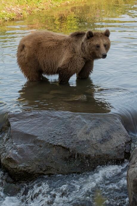 Europese bruine beer