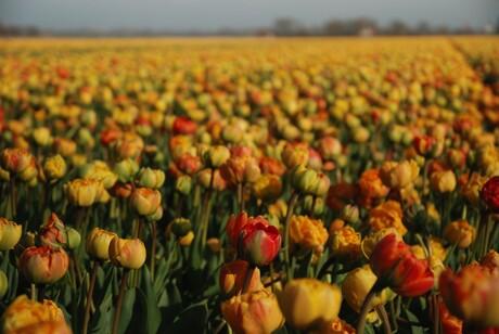 Kleurige bloembollen