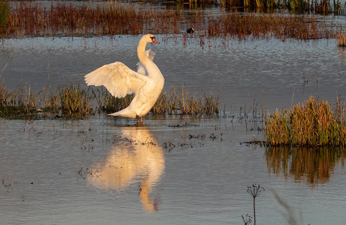 Kijk mij eens! - Mijn oog was al gevallen op de weerspiegeling van de zwaan in de al wat ondergaande zon. Eigenlijk hoopte ik dat zwaan 2 er bij zou komen, voor een r - foto door PeterKosterHT op 22-11-2020 - deze foto bevat: water, natuur, licht, herfst, dieren, landschap, nederland, biesbosch
