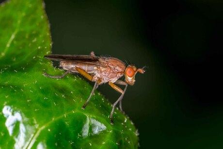 Bruine slakkendodende vlieg