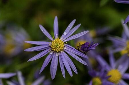 Photography - Fauna & flora - foto door focuscabrio op 14-04-2021 - locatie: Elversele, 9140 Temse, België - deze foto bevat: fabriek, bloem, bloemblaadje, purper, kruidachtige plant, blauwe houten aster, bodembedekker, bloeiende plant, gras, terrestrische plant