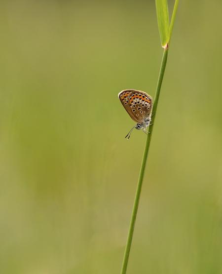 Heideblauwtje......flash back (14) - Rustend op een stengel met de kop naar beneden gericht, zo tref je, voornamelijk de blauwtjes, vaak aan. Zo ook dit vrouwtje, te herkennen aan diepbr - foto door franspelzer op 03-02-2021 - deze foto bevat: groen, macro, natuur, vlinder, blauwtje, zomer, insect, heideblauwtje, franspelzer