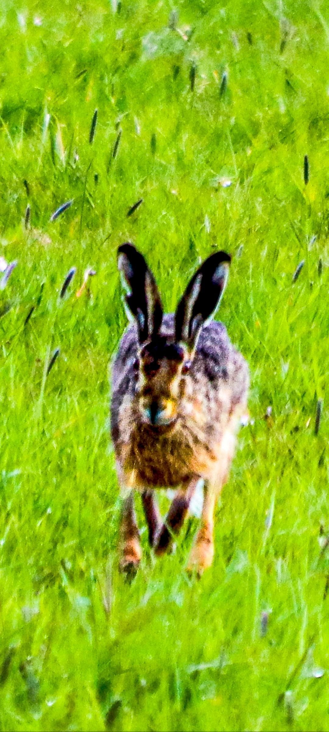 Hazenpad - Het hazenpad kiezen.. - foto door Erikvdzwan op 14-04-2021 - locatie: 8191 Wapenveld, Nederland - deze foto bevat: konijn, houten konijn, fabriek, haas, gras, bodembedekker, terrestrische dieren, grasland, bakkebaarden, konijnen en hazen