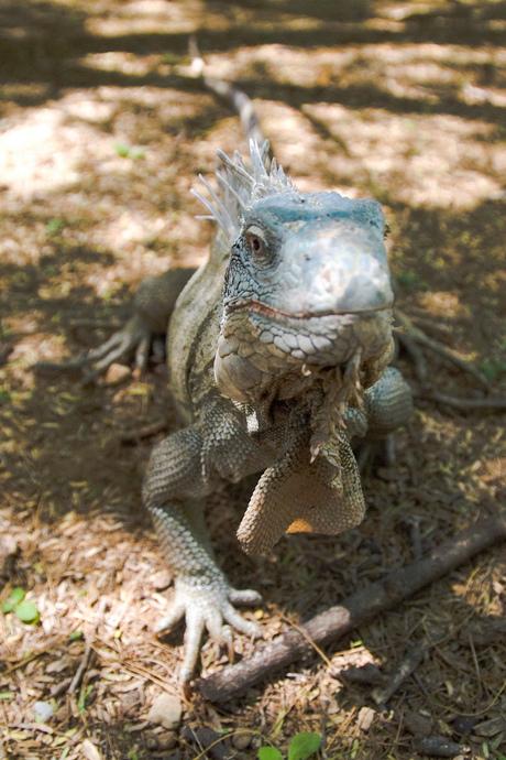 Bonaire's Iguana