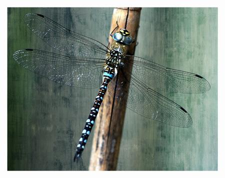 in mijn tuin - even wat weinig tijd en inspiratie, maar toen ik deze in  mijn tuin zag kon ik het toch niet laten mijn camera te pakken. - foto door onne1954 op 20-08-2013 - deze foto bevat: blauw, juffer, tuin, libel