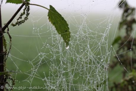 dauw op spinnenweb.jpg