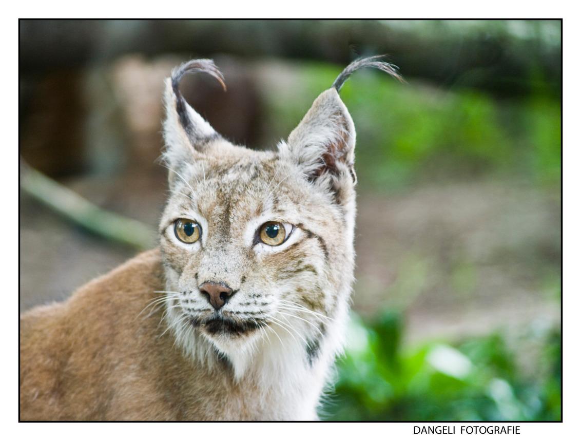 lynx Party - Een lynx die erg moeilijk te fotograferen was. Maar ondanks lang wachten keek hij toch richting camera. Mijn dag was gemaakt... wat een mooi dier is  - foto door vasco1973 op 29-07-2009 - deze foto bevat: dierenpark, closeup, amersfoort, lynx
