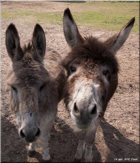 2 ezels - 2 ezels, deze foto heb ik gemaakt in Ede bij de doesburger molen. - foto door jansenpeet op 03-02-2014 - deze foto bevat: ezels