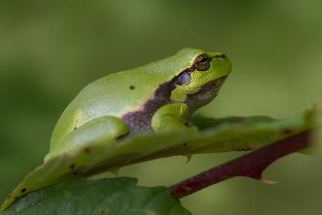 Green stinkeye..