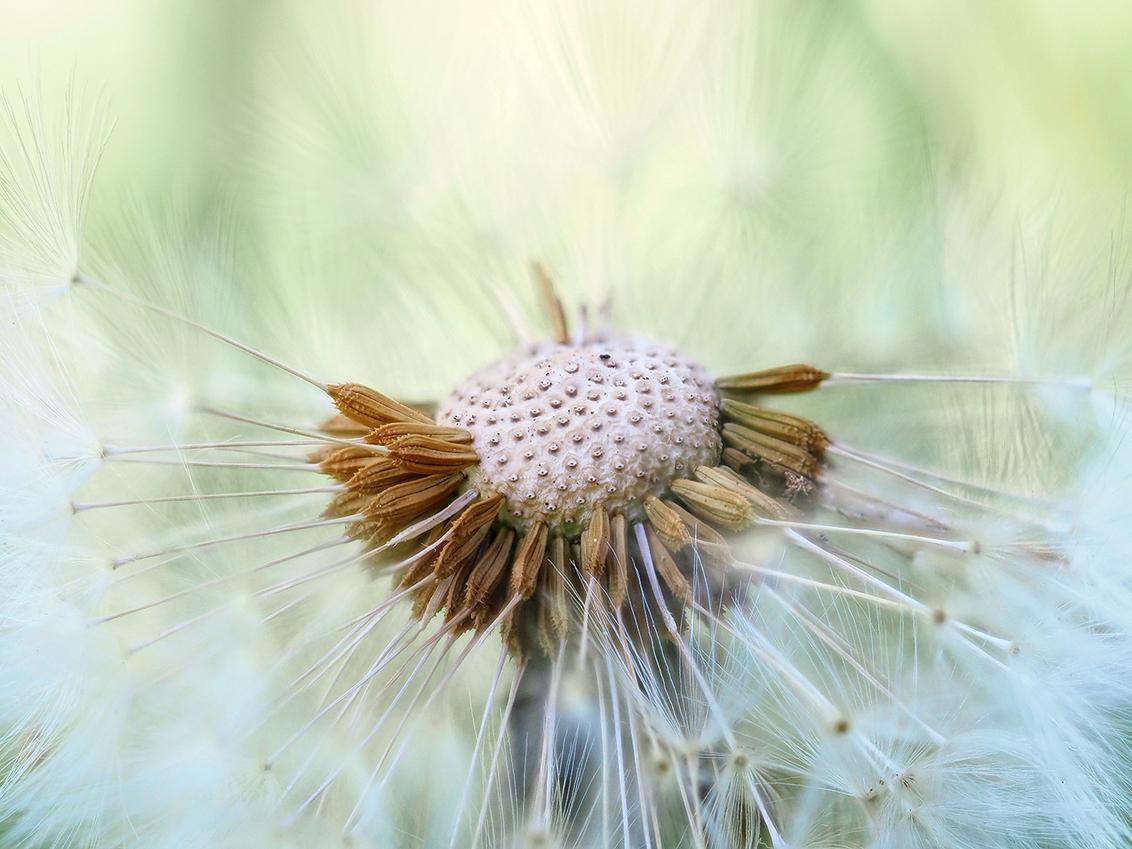 Pluizenbol - fotostack: 15 foto's uit de hand  Ik wens iedereen alvast een heel fijn weekend - Nieske - foto door BNN op 12-06-2020 - deze foto bevat: macro, natuur, paardenbloem, pluizenbol, bnn, fotostack