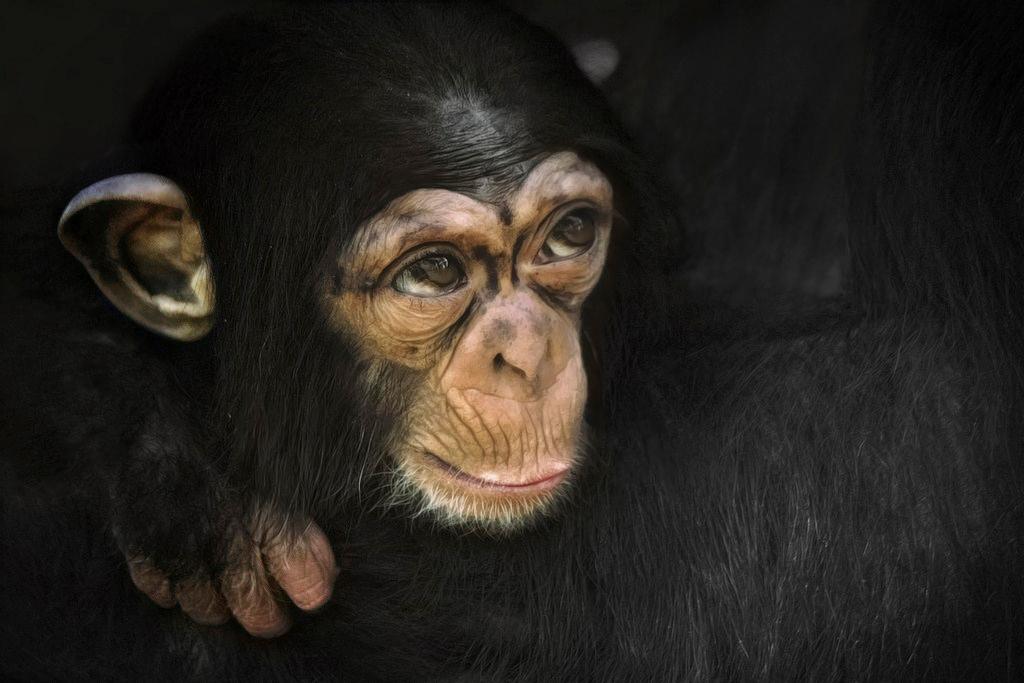 Shangwe - Jong chimpanseetje Artis ~ Zoo - foto door JokeHulst op 23-05-2013 - deze foto bevat: artis, aap, zoo, chimpansee