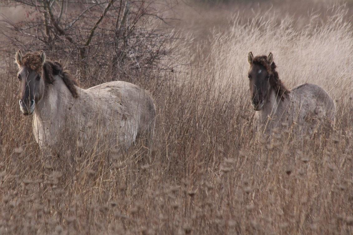 Konikpaarden bij Loo in Gelderland - Een prachtige groep Konik Paarden lopen in de vrije natuur in de uiterwaarden van de Nederrijn. De Loowaard bij Loo in de gemeente Duiven in Gelderla - foto door j.oudegeerdink op 23-12-2016 - deze foto bevat: natuur, paard, dieren, safari, wildlife, uiterwaarden, rijn, loo, konikpaard, nederrijn, loowaard