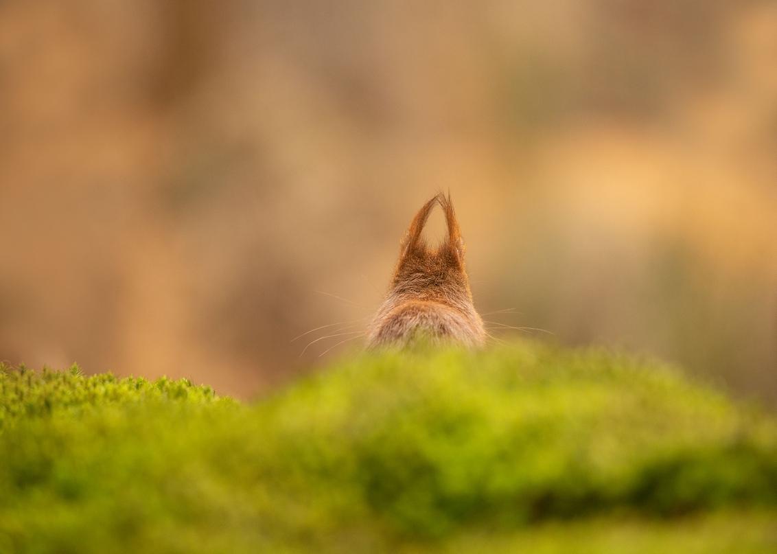 mooi niet - eekhoorntjes....wat zijn ze toch leuk..natuurlijk altijd met glinsterende oogjes recht in de lens kijkend..sierlijk de mooie pluimstaart langs het li - foto door Dylano op 13-04-2021 - deze foto bevat: eekhoorn..zoogdieren, groen ...vogelhut, kat, fabriek, felidae, hout, carnivoor, natuurlijk landschap, gras, fawn, kleine tot middelgrote katten, bakkebaarden