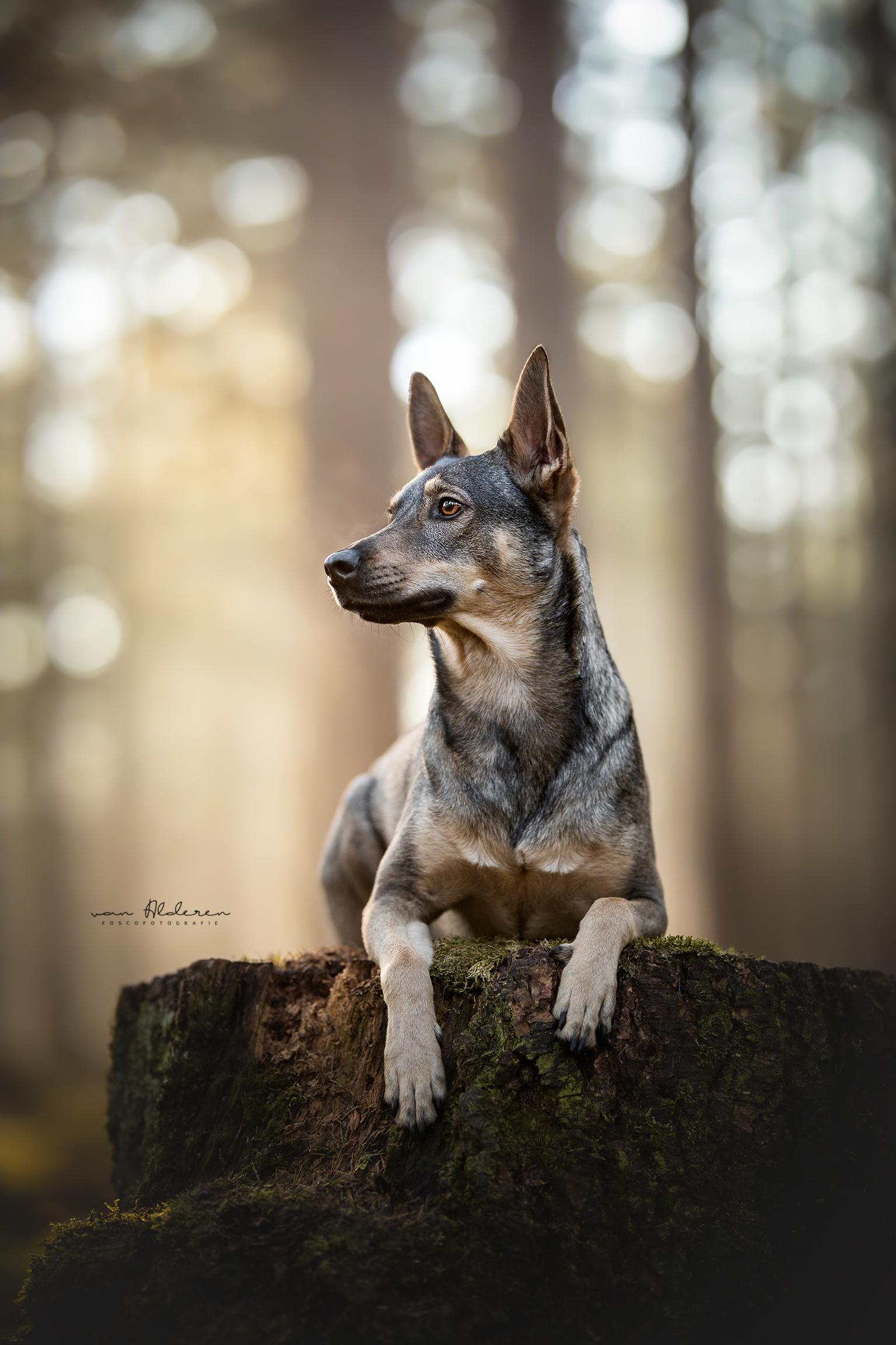 Chyta - Chyta geportreteerd bij een prachtige zonsopkomst - foto door foscofotografie op 13-04-2021 - locatie: Rijen, Nederland - deze foto bevat: hond, honden, dier, dieren, zonnestralen, sunrays, tegenlicht, boomstronk, natuur, hondenfotografie, dierenfotografie, zomers, bokeh bollen, bokeh, scherptediepte, bos, mos, canon, hond, grijs, carnivoor, hondenras, fawn, bakkebaarden, terrestrische dieren, boom, metgezel hond, hout