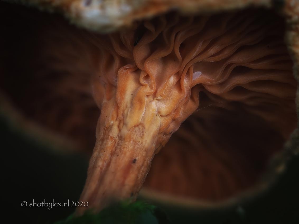 Shades of brown - Heel klein paddenstoeltje van onderen. Deze paddenstoel was al helemaal aan het vergaan en hing nog maar half aan de stam. Gelukkig kon ik de onderzi - foto door meneerlex op 20-10-2020 - deze foto bevat: macro, natuur, bruin, herfst, paddenstoel, dof, onderzijde