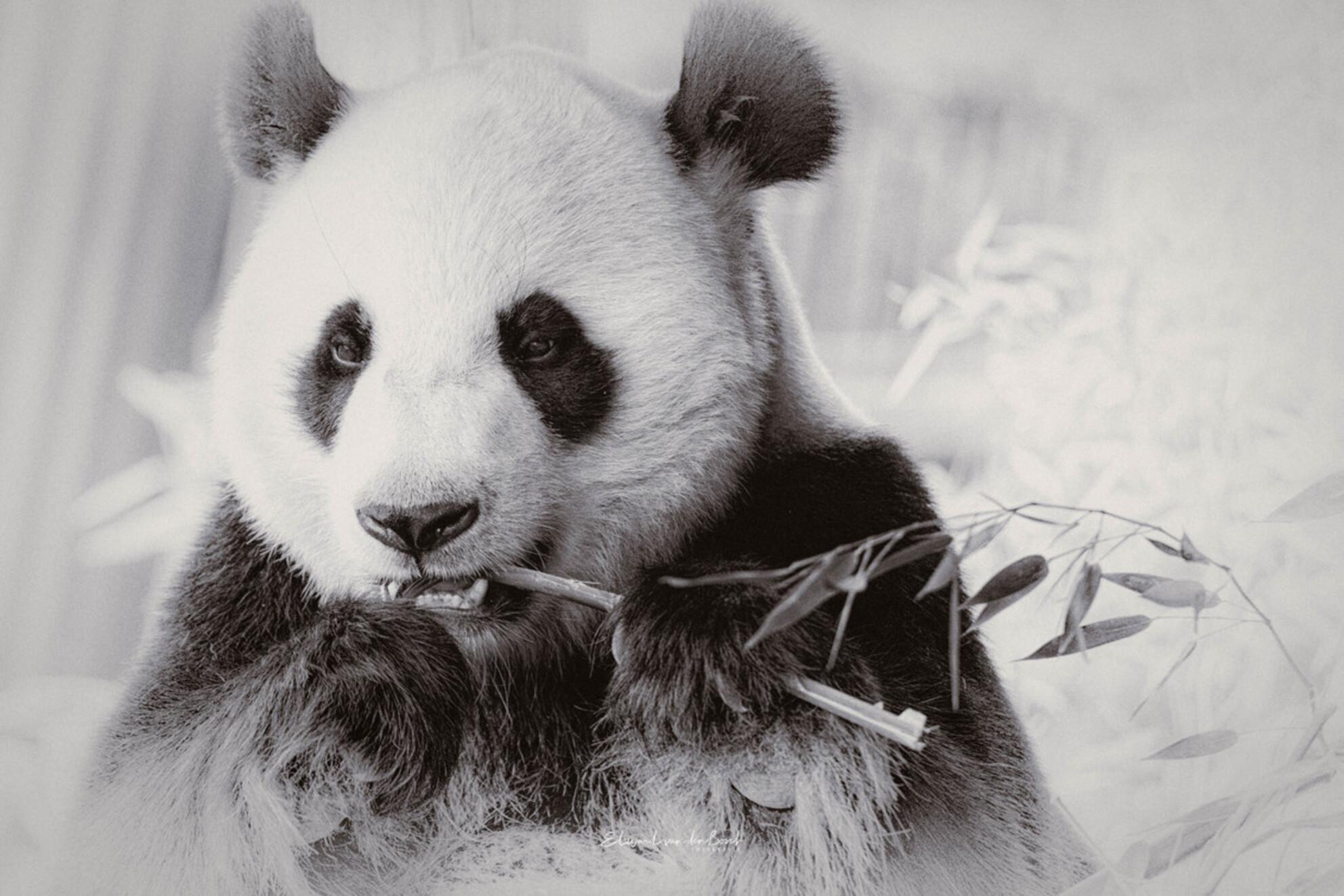 Pandamic 2021 - Panda - Dierentuin Rhenen - foto door B-DFoto op 18-02-2021 - deze foto bevat: dierentuin, dieren, wildlife, rhenen, panda - Deze foto mag gebruikt worden in een Zoom.nl publicatie