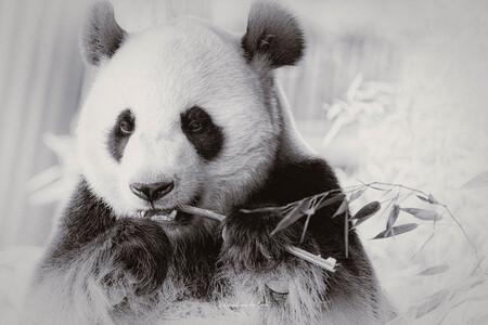 Pandamic 2021 - Panda - Dierentuin Rhenen - foto door B-DFoto op 18-02-2021 - deze foto bevat: dierentuin, dieren, wildlife, rhenen, panda
