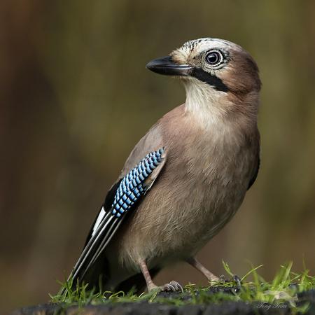 Gaai - een statig portret van deze drukktemaker... - foto door Rohs op 13-04-2021 - locatie: Bakelse Bossen, 5709 Helmond, Nederland - deze foto bevat: vogel, oog, bek, veer, iris, terrestrische dieren, zangvogel, elektrisch blauw, neerstekende vogel, jay