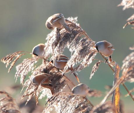 Baardmannen en vrouwen in de rietputten