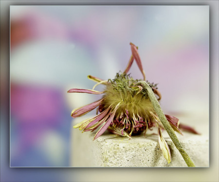 geknakt......................... - de gerbera..... - foto door alizoom op 15-04-2021 - deze foto bevat: bloem, fabriek, bloemblaadje, terrestrische plant, magenta, rechthoek, kunst, bloeiende plant, takje, gelukkig