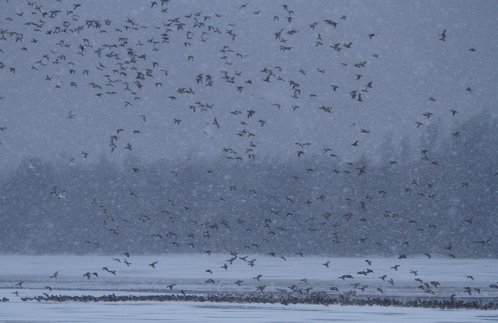 Het laatste wak! - Alleen de vaargeul was op dat moment in dat jaar nog open, waardoor er dan ook massaal gebruik van werd gemaakt. - foto door wilcobekhuis op 17-10-2012 - deze foto bevat: eenden, sneeuw, winter, koud, kou - Deze foto mag gebruikt worden in een Zoom.nl publicatie