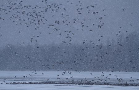 Het laatste wak! - Alleen de vaargeul was op dat moment in dat jaar nog open, waardoor er dan ook massaal gebruik van werd gemaakt. - foto door wilcobekhuis op 17-10-2012 - deze foto bevat: eenden, sneeuw, winter, koud, kou