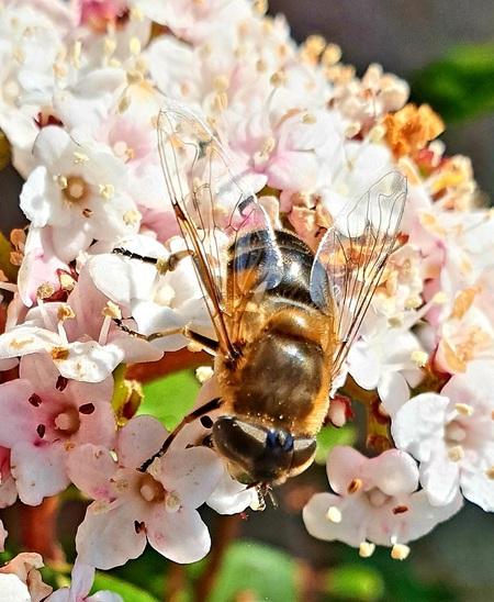 Bij - De Bij kwam even snoepen op het balkon.fijn weekend allemaal gr Bets - foto door cgfwg op 16-04-2021 - locatie: Assen, Nederland - deze foto bevat: bloem, fabriek, bestuiver, insect, geleedpotigen, bloemblaadje, honingbij, plaag, bloeiende plant, detailopname