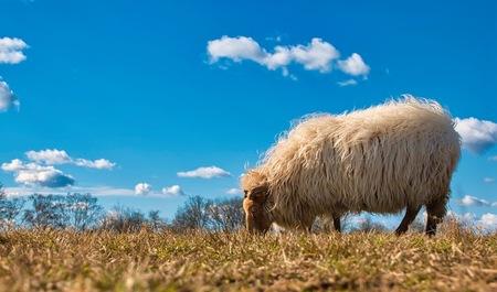 Drenthe - Het grazende Drentse heideschaap.  Bedankt voor het bekijken en de reacties op mijn vorige uploads!  Groeten, Jeroen - foto door JerPet op 20-03-2021 - deze foto bevat: groen, lucht, wolken, natuur, landschap, heide, schaap, nederland