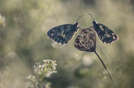 The light of a early morning - Vorige week een aantal dagen in de Belgische Ardennen vertoefd. Het blijft een heerlijk landsdeel. Natuurlijk ook een paar belachelijk vroeg de wekke - foto door arjovandijk op 02-07-2020 - deze foto bevat: macro, natuur, vlinder, druppel, ochtend, tegenlicht, dauw, dof, dambordje, bokeh, arjovandijk