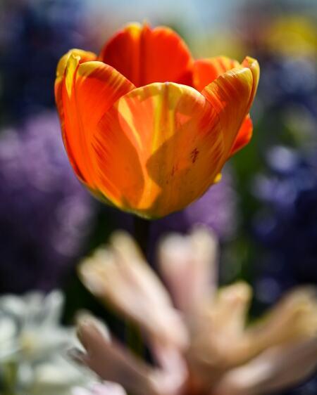 Flying tulip  - Ik was aan het fotograferen en ik kwam thuis en bij het bekijken van de foto's moest ik wel even lachen . Zie ik ineens een tulp zweven ik vond het t - foto door Dirk-66 op 16-04-2021 - deze foto bevat: tulp, bloe, voorjaar, kleur, vliegend, bloem, fabriek, bloemblaadje, natuurlijke omgeving, lucht, oranje, zonlicht, natuurlijk landschap, bloeiende plant, eenjarige plant
