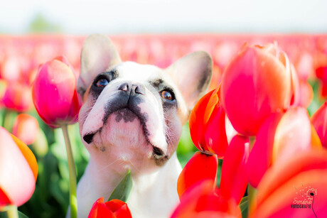 Pippa tussen de tulpen