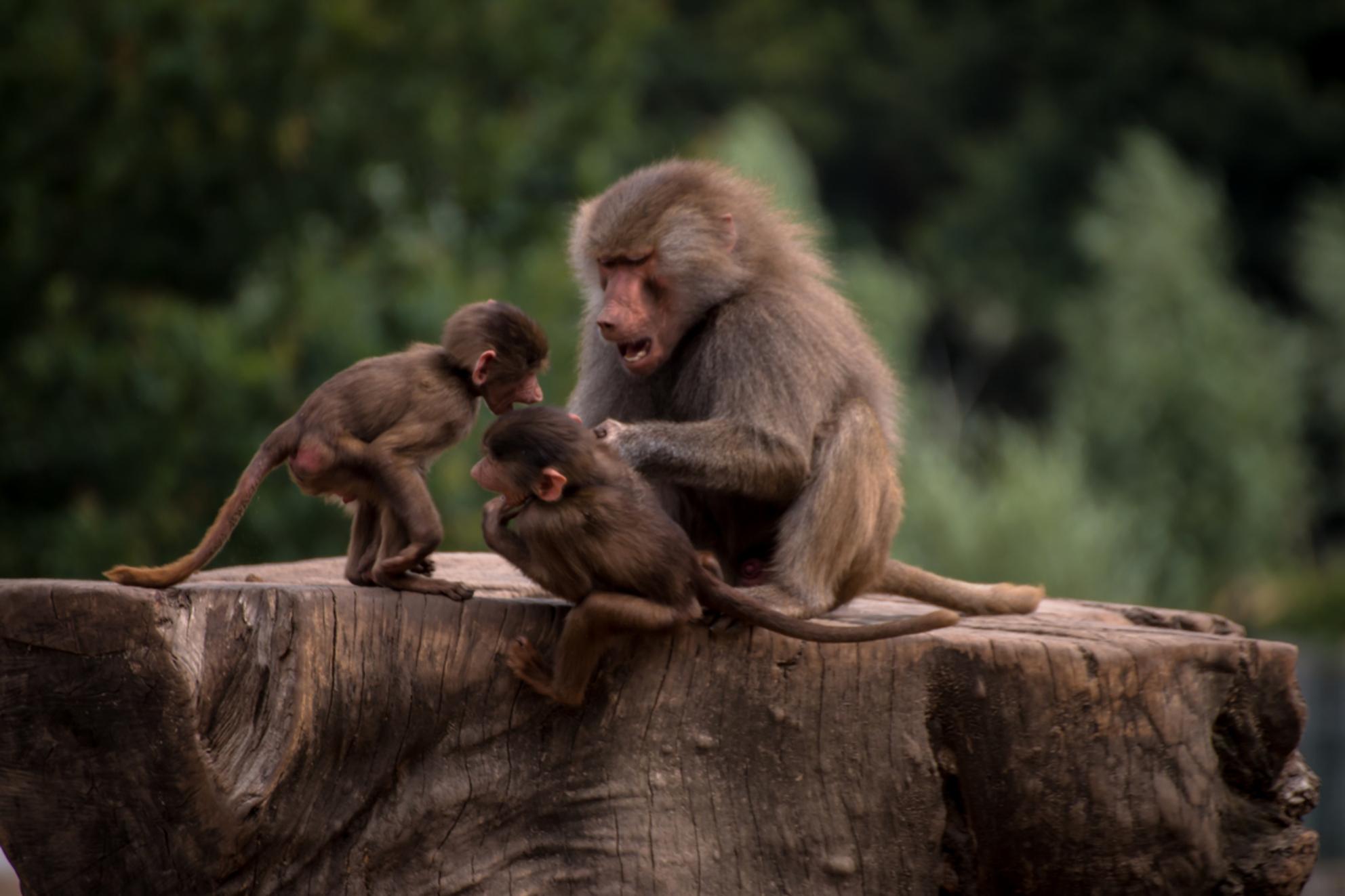 Lastige kinderen... - Deze moeder aap heeft het maar druk met haar kinderen. Ze kan ze soms bijna niet houden... Hier een poging van haar vastgelegd!  Ik ben weer benieu - foto door ariedewaard op 30-06-2014 - deze foto bevat: dierentuin, natuur, safari, lastig, moeder, apen, kinderen, aap, afrika, wildlife, aapjes, ruzie