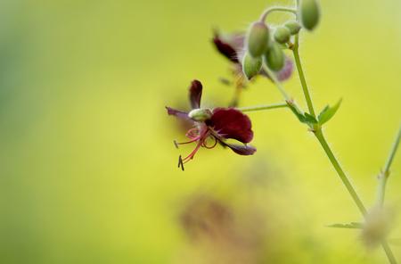 Donkere Ooievaarsbek serie - Deze mooie bloemetjes van alle kanten bekeken en vast gelegd... Niet makkelijk om uit een veld , geschikte kandidaten te vinden...Alle bloemetjes zij - foto door dettyverbon op 25-05-2014 - deze foto bevat: bloem, natuur, utrecht, botanische tuin, donkere ooievaarsbek