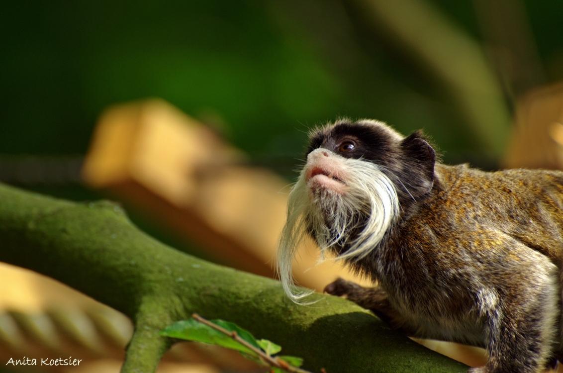 ik druk mijn snor..... - Wolaapje - foto door anita7 op 31-08-2013 - deze foto bevat: dierentuin, dieren, aap, apenheul, wolaapje