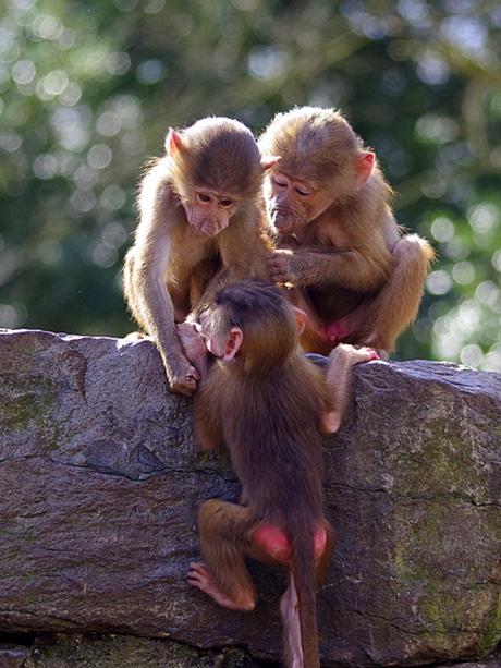apenstreken