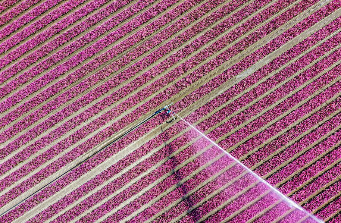 Water the fields - Sinds begin dit jaar in het bezit van een Mavic mini en de tulpentijd is ideaal om hier mee te spelen. bovendien kun je zo goed je afstand bewaren. I - foto door frankovitsj op 14-04-2020 - deze foto bevat: tulpen, lente, natuur, landschap, tulpenveld, drone, droneshot