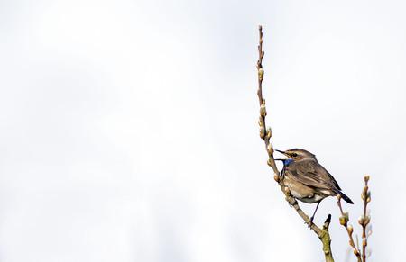 Blauwborst - Gisteren met mijn fotomaat het Lauwersmeergebied in geweest om op vogels te fotograferen, het was er stil, de meeste vogels moeten nog komen, maar to - foto door sambikkeltje op 15-04-2021 - locatie: Lauwersmeer, 9976 VT Nederland - deze foto bevat: vogel, lucht, fabriek, takje, bek, hout, veer, boom, natuurlijk materiaal, zangvogel