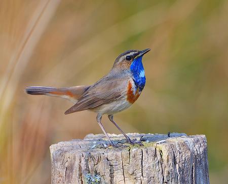blauwborst - blauwborst - foto door wamberg1960 op 15-04-2021 - locatie: Máximakanaal, Nederland - deze foto bevat: zangvogel, blauwborst, kleurrijk, vogel, hout, bek, zangvogel, rol, veer, elektrisch blauw, neerstekende vogel, natuurlijk materiaal, dieren in het wild