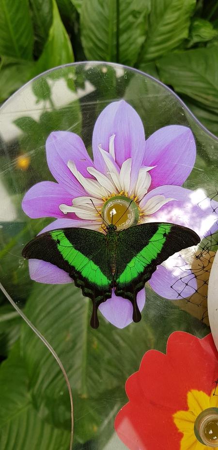 Vlinder drinkt nectar - Vlinder drinkt nectar uit een potje, Stranden op een glasplaat met bloem motief , - foto door Jo1zoom op 10-04-2021 - locatie: Someren, Nederland - deze foto bevat: bloem, bestuiver, fabriek, insect, geleedpotigen, purper, bloemblaadje, plantkunde, organisme, motten en vlinders