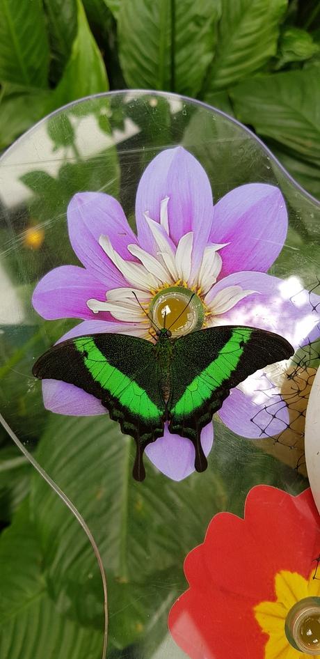 Vlinder drinkt nectar